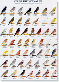 Colores y tipos de canarios I - (Color bred canaries I)
