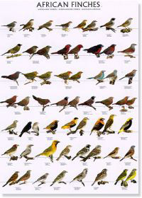 Diamantes africanos I - (African finches I)