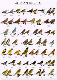 Diamantes africanos II - (African finches II)